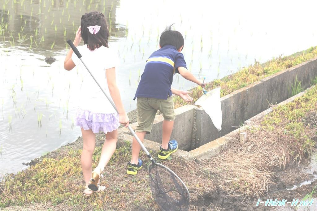 田んぼで虫取りをする長男と娘