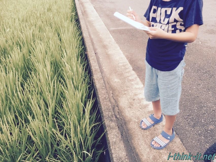 長かった夏休みもあと少し。子供の夏休みの宿題「稲の観察」に付き合ってみた結果、稲に少し詳しくなった。