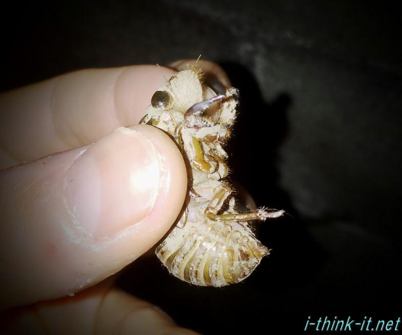 セミの幼虫に初めて触れた夜。7年間も土の中にいたのかって思うと胸が熱くなったよ!